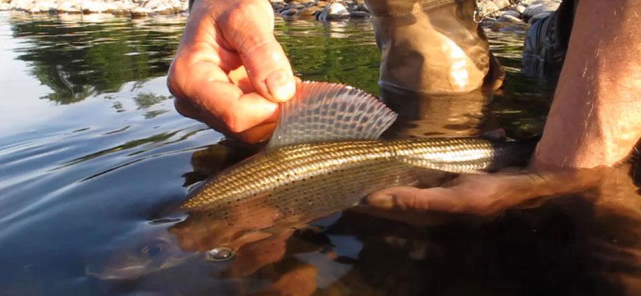 Remise à l'eau du poisson dans la Dordogne
